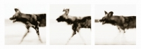 Wild dogs running triptych by Springer, Graham