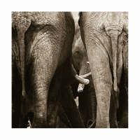Elephant peering by Springer, Graham