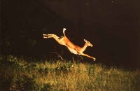 Jumping Impala by Unknown