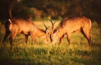 2 Waterbuck by Unknown